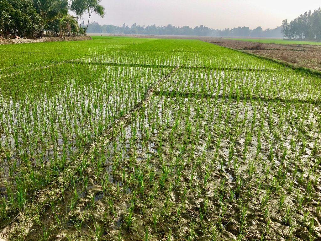 Rice fields we saw