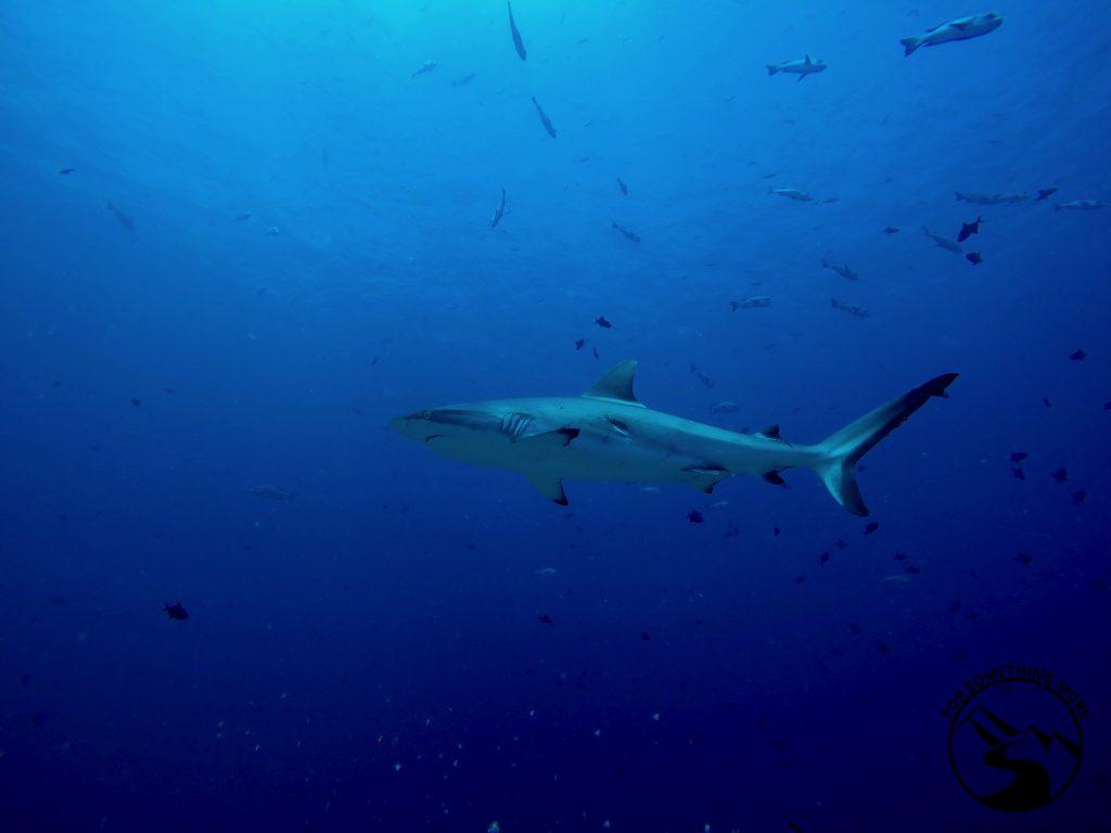 Stay at Carp Island Resort in Palau and see sharks