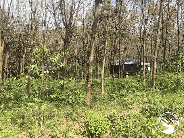 Rubber Trees Koh Yao Yai Island Thailand