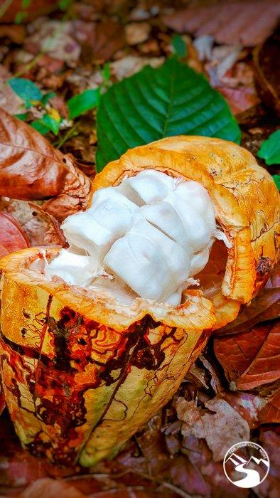 vist a cocoa farm on your Dominican Republic road trip