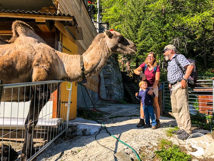 a camel in the swiss alps