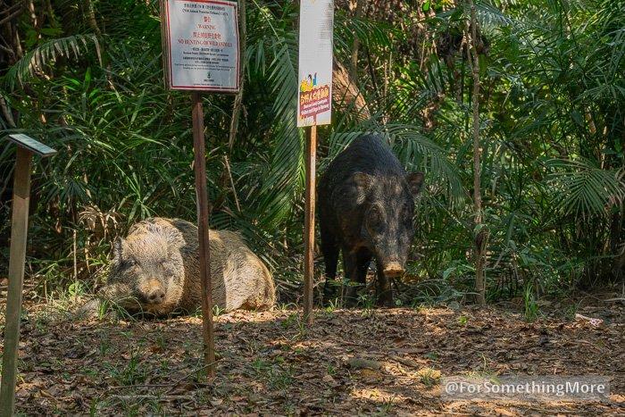 wild boars on Quarry Bay Tree Walk (鰂魚涌樹木研習徑)