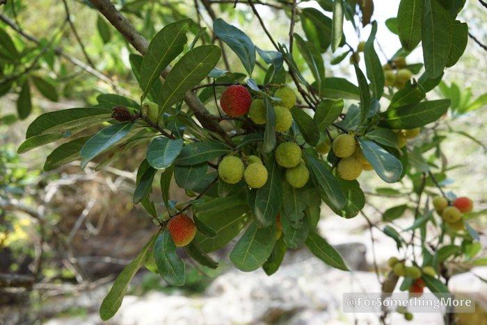 Chinese Bayberry Tree