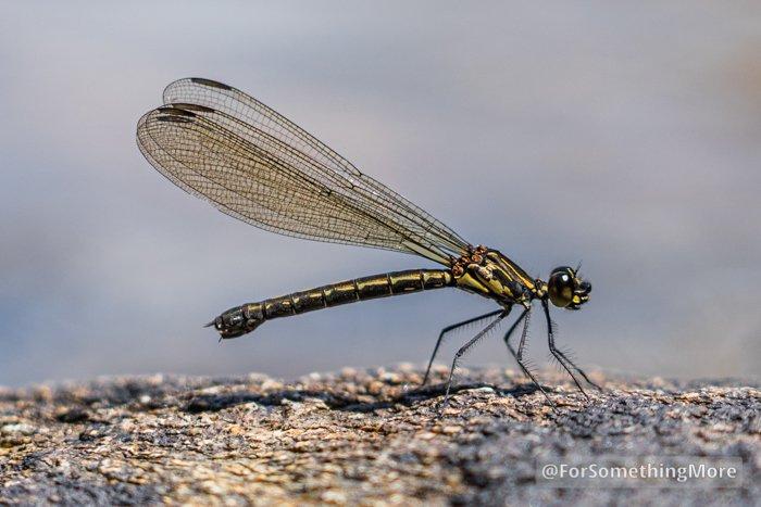 a dragonfly at Ping Nam Stream